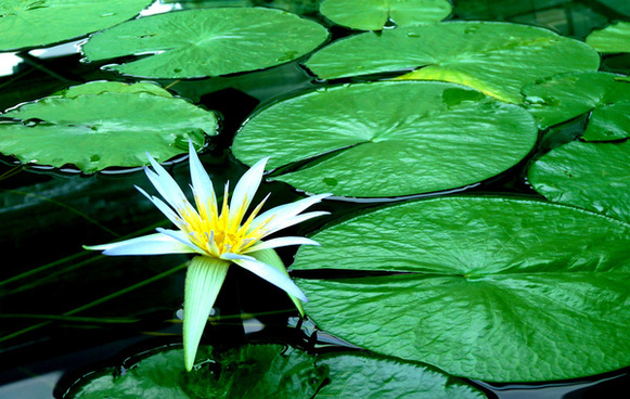 blue nile water lily adelaide botanic gardens