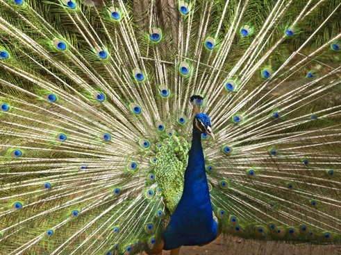 blue peacock birds wildlife
