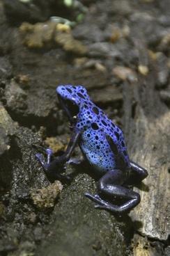 blue pfeilgiftfrosch poison dart frog poison frog