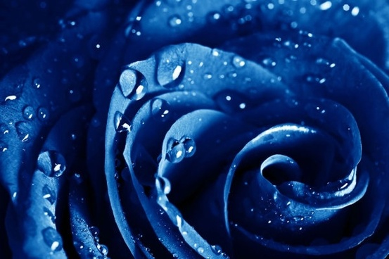 blue rose highdefinition picture