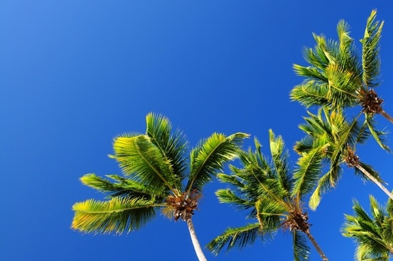 blue sky and coconut trees hd picture