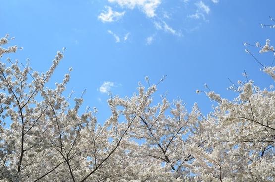 blue sky branch bright cherry contrast flower frost