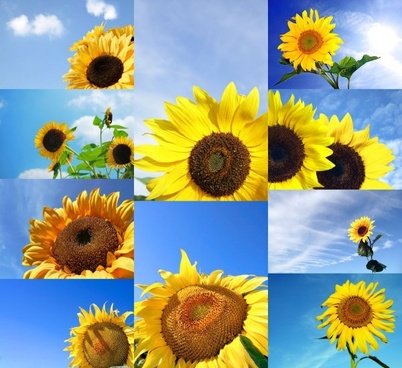 blue sky with sunflower highdefinition picture