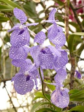 blue vanda orchid orchid blue