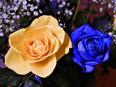 blue yellow rose