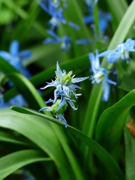 bluebell flower blue