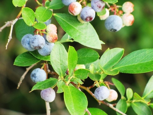 blueberries berry fruit
