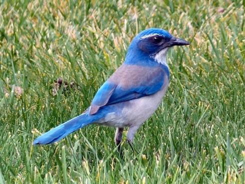 bluebird bird animal