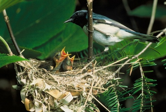 blue-throated blue warbler bird nest