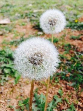 blur botany dandelion delicate detail flower fluffy