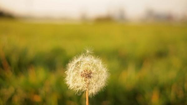 blur closeup color dandelion detail field flora