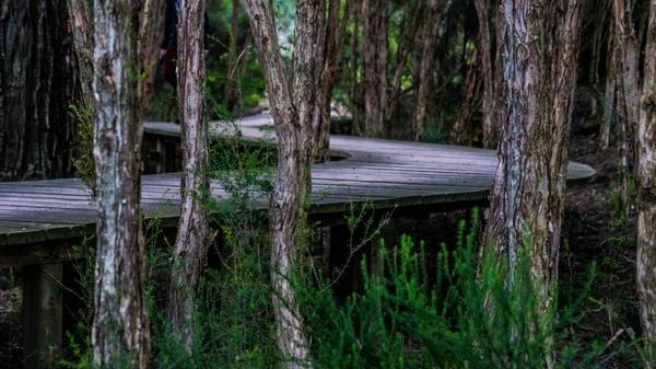 boardwalk trees twist