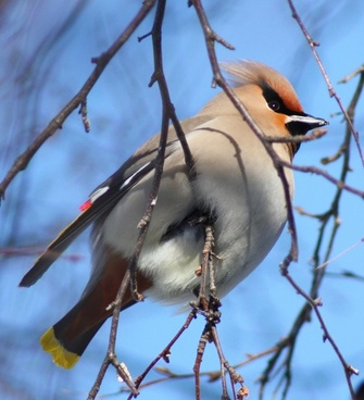 bohemian waxwing bird tree