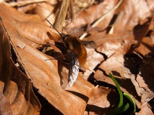 bombyliidae insect animal