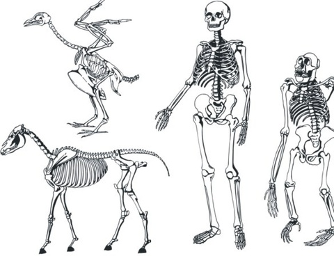 bones skeleton vector