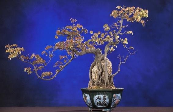 bonsai acer buergerianum bonsai tree