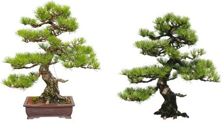 bonsai highdefinition picture
