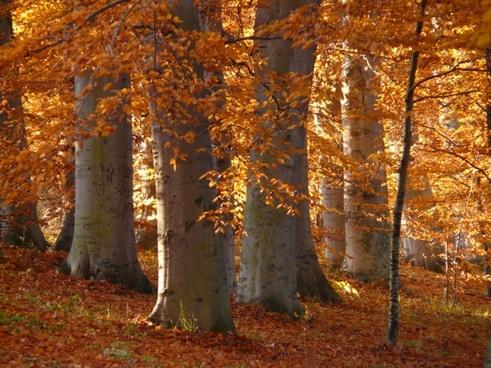 book beech wood golden autumn