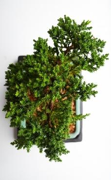 botany branch bright christmas detail dwarf ecology