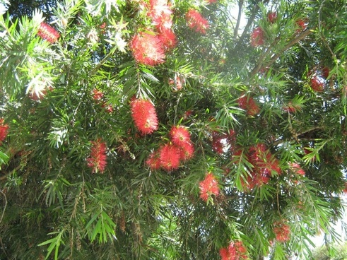 bottlebrush shrub