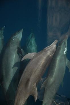 bottlenose dolphin sea marine mammal