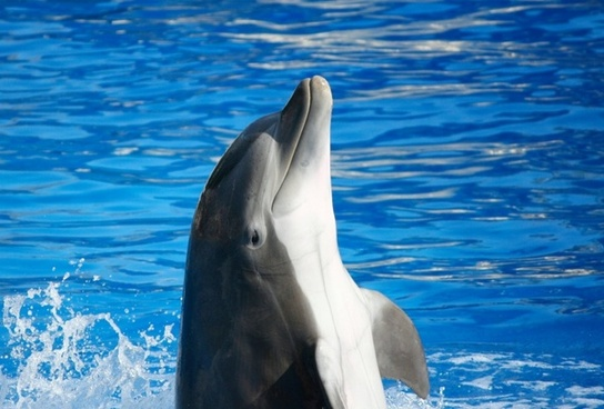 bottlenose dolphin tursiops marine mammal