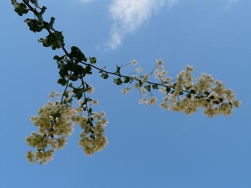 bougainvillea white sky