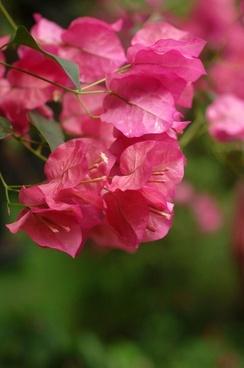 bouganvilla flowers