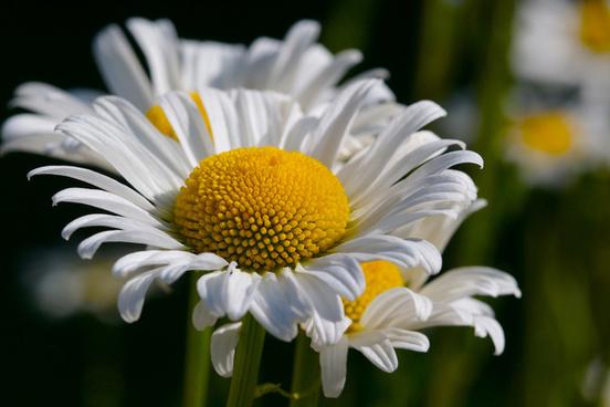 bowsprit daisy 1