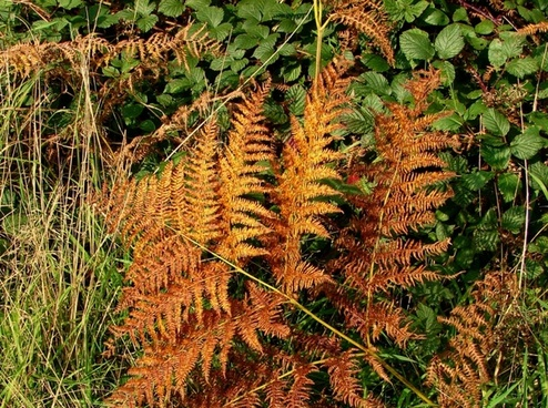 bracken in autumn