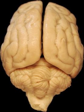 brain anatomy dog