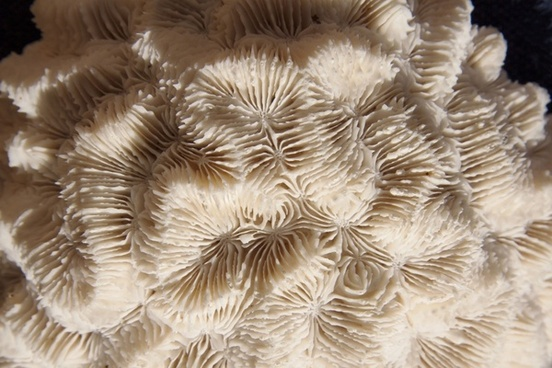 brain coral hard corals skeletal structure