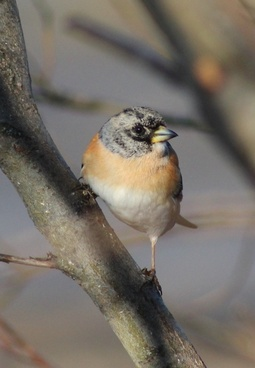 brambling bird limb