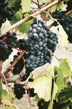 branch close up fruit grape leaf vine vineyard wine