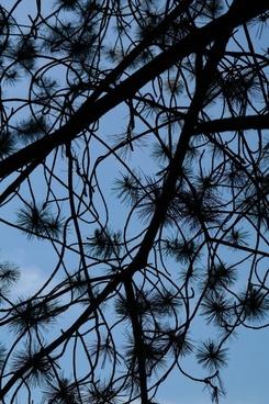 branch needles black pine