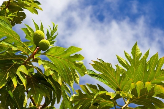 breadfruit plant