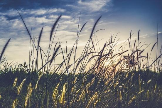 breeze cane field golden grass landscape morning