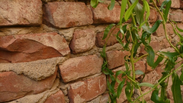 brick wall and ivy