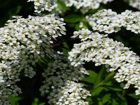 bride spiere bush ornamental shrub