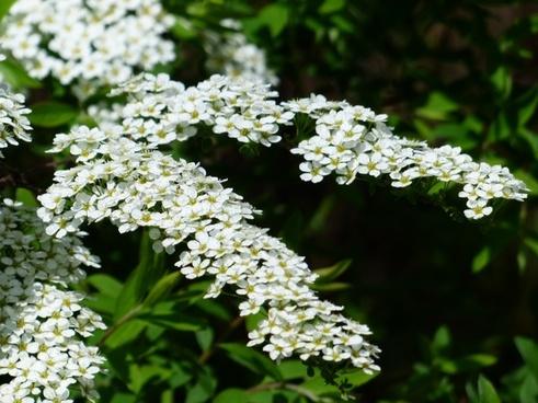 bride spiere ornamental shrub flowers
