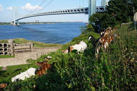 bridge goats nature
