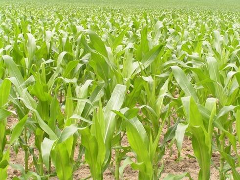 bright corn field