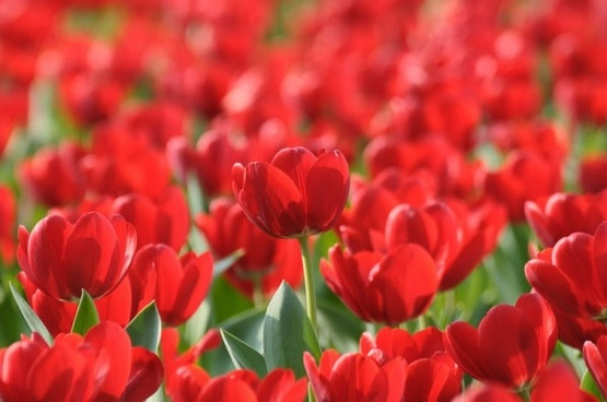 Tulip flowers hd free stock photos download 13079 free stock brilliant tulip 03 hd picture thecheapjerseys Image collections