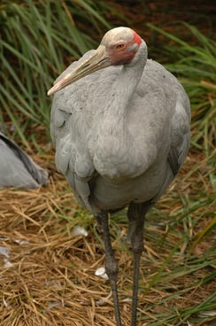 brolga bird nature
