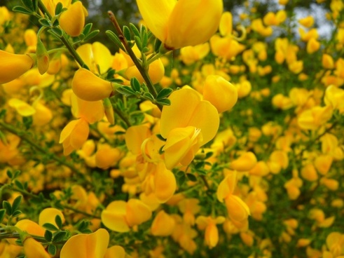 broom flower yellow