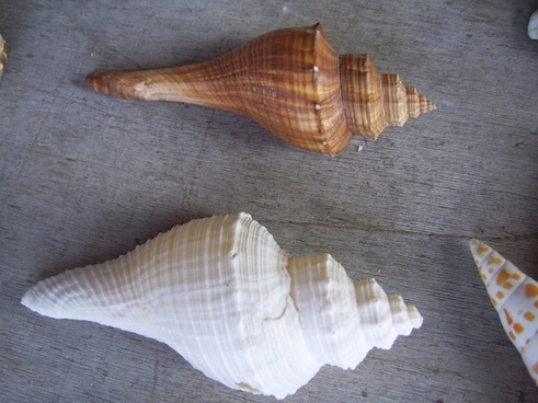 brown and white shell