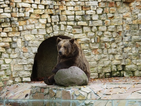 brown bear predator sit