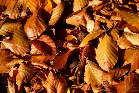 brown beech leaves