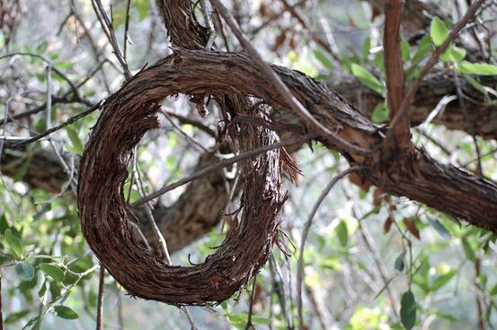 brown canyon wild grape vine