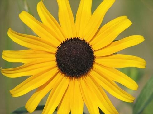 brown eyed susan flower closeup